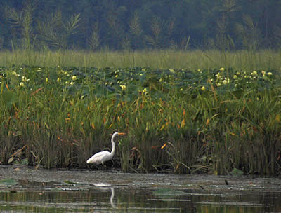 Photo of Mattawoman Creek, Egret amid lotus blooms