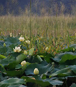 Photo of Lotus and Rice