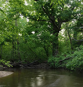 Photo of Lyre Leaf Oak along Mattawoman Creek