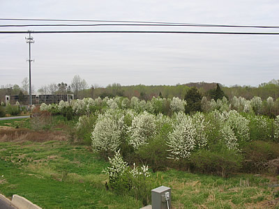 Bradford Pears growing adjacent to Montrose Road and I-270