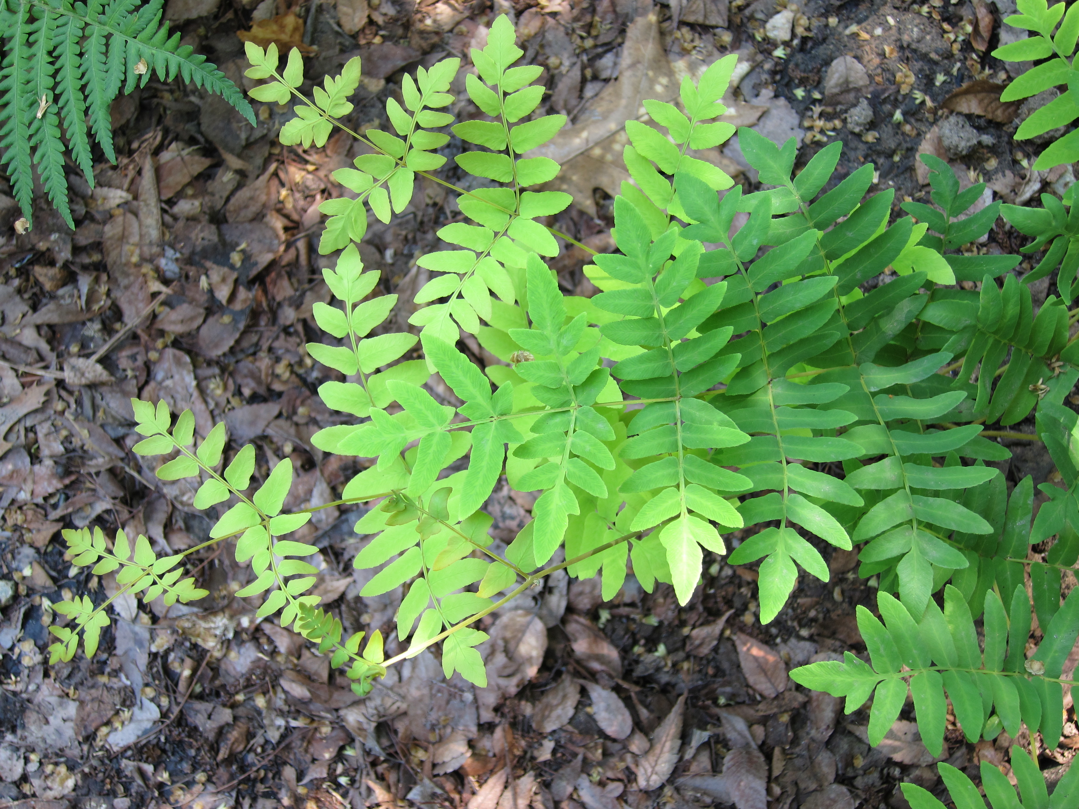 Osmunda regalis, Royal Fern