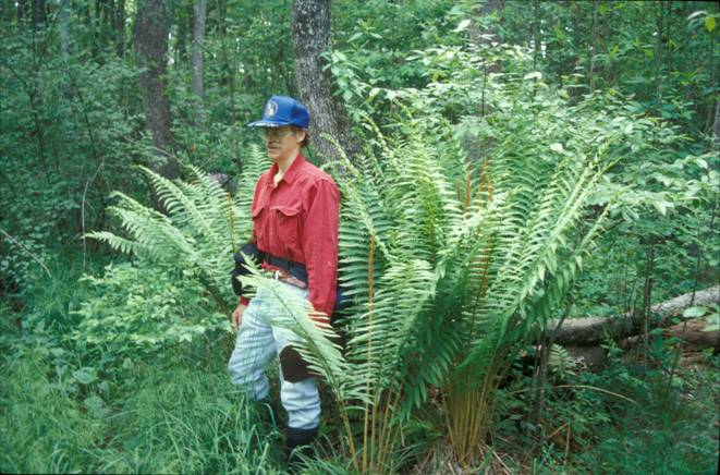 Jim Long and giant Cinnamon Fern (Osmundastrum cinnamomeum) stand at Araby Bog, Charles County, Mary